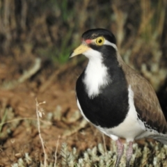 Vanellus tricolor (Banded Lapwing) at Wanganella, NSW - 14 Nov 2020 by Liam.m