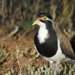 Vanellus tricolor (Banded Lapwing) at suppressed by Liam.m