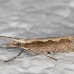 Plutella xylostella (Diamondback Moth) at Melba, ACT - 22 Aug 2021 by kasiaaus