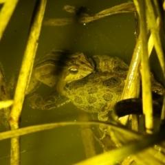 Crinia signifera (Common Eastern Froglet) at Kambah, ACT - 27 Aug 2021 by HelenCross
