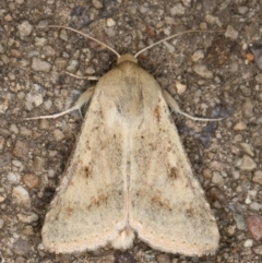 Helicoverpa (genus) at Melba, ACT - 27 Aug 2021