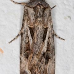 Agrotis munda (Brown Cutworm) at Melba, ACT - 26 Aug 2021 by kasiaaus