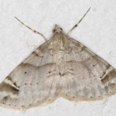 Syneora hemeropa (Ring-tipped Bark Moth) at Melba, ACT - 26 Aug 2021 by kasiaaus