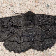 Melanodes anthracitaria (Black Geometrid) at Melba, ACT - 26 Aug 2021 by kasiaaus