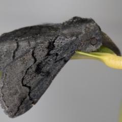 Melanodes anthracitaria at Melba, ACT - 27 Aug 2021