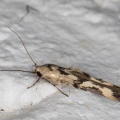 Stathmopoda melanochra (An Oecophorid moth (Eriococcus caterpillar)) at Melba, ACT - 26 Aug 2021 by kasiaaus