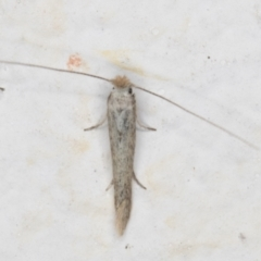 Tineola bisselliella (Webbing Clothes Moth) at Melba, ACT - 26 Aug 2021 by kasiaaus