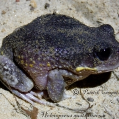 Heleioporus australiacus australiacus (Giant Burrowing Frog) at Blue Mountains National Park, NSW - 31 Dec 2015 by PatrickCampbell