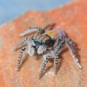 Unidentified Jumping & peacock spider (Salticidae) (TBC) at suppressed by Harrisi