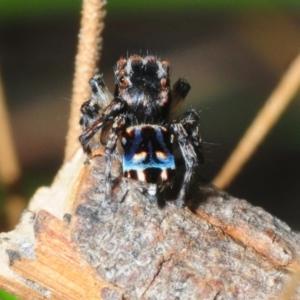 Maratus harrisi (Harris's Peacock spider) at Bornes Hill, VIC by Harrisi