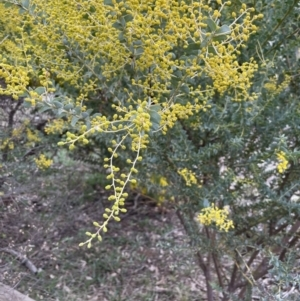 Acacia cultriformis at Majura, ACT - 28 Aug 2021