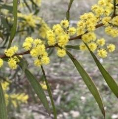 Acacia rubida (Red-leaved Wattle) at Majura, ACT - 28 Aug 2021 by JaneR