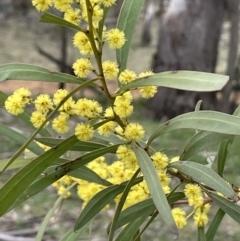 Acacia rubida at Majura, ACT - 28 Aug 2021