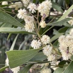 Acacia melanoxylon (Blackwood) at Majura, ACT - 28 Aug 2021 by JaneR