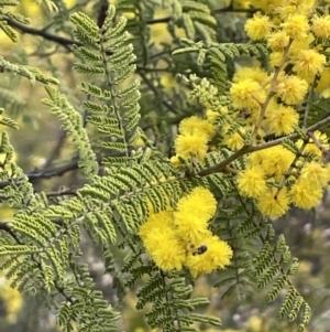 Acacia cardiophylla at Majura, ACT - 28 Aug 2021