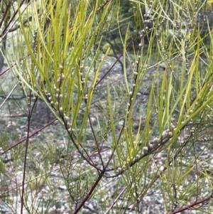 Acacia elongata at Majura, ACT - 28 Aug 2021