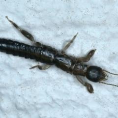 Metoligotoma sp. (genus) (Webspinner) at Ainslie, ACT - 25 Aug 2021 by jbromilow50