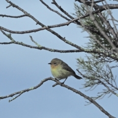 Acanthiza nana (Yellow Thornbill) at Holt, ACT - 28 Aug 2021 by wombey