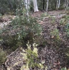 Acacia ulicifolia (Prickly Moses) at Bruce, ACT - 8 May 2021 by goyenjudy