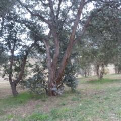 Eucalyptus cinerea (Argyle Apple) at Dunlop, ACT - 28 Aug 2021 by johnpugh