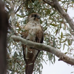 Falco berigora at Majura, ACT - 29 Aug 2021