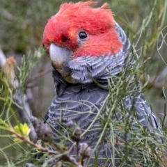Callocephalon fimbriatum (Gang-gang Cockatoo) at Penrose, NSW - 5 Dec 2018 by Aussiegall