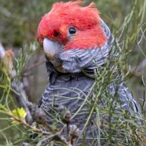 Callocephalon fimbriatum (Gang-gang Cockatoo) at Penrose, NSW by Aussiegall