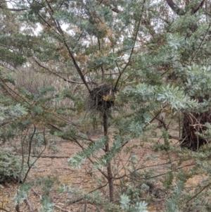 Acacia baileyana (Cootamundra Wattle, Golden Mimosa) at Mount Camel, VIC by Darcy
