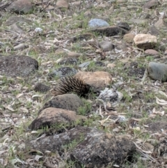 Tachyglossus aculeatus (Short-beaked Echidna) at Yarragal, NSW - 13 Nov 2018 by Darcy