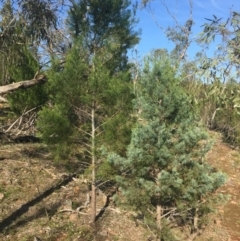 Callitris glaucophylla (White Cypress Pine) at Yenda, NSW - 5 Sep 2015 by Darcy