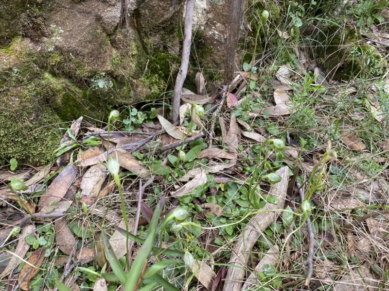 Pterostylis nutans at Woodlands, NSW - 29 Aug 2021