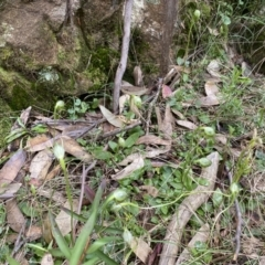 Pterostylis nutans (Nodding Greenhood) at Woodlands, NSW - 29 Aug 2021 by JanetMW