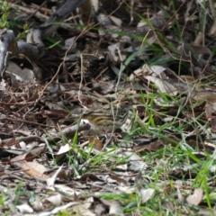 Pyrrholaemus sagittatus (Speckled Warbler) at Deakin, ACT - 30 Aug 2021 by ebristow