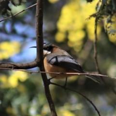 Acanthorhynchus tenuirostris (Eastern Spinebill) at Gundaroo, NSW - 19 Aug 2021 by Gunyijan