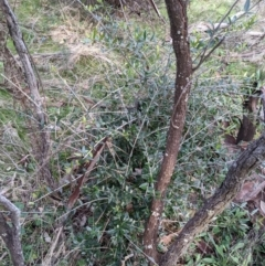 Olea europaea subsp. cuspidata (African Olive) at Downer, ACT - 30 Aug 2021 by WalterEgo