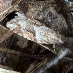 Acropolitis rudisana (Tortricinae) at Murrumbateman, NSW - 29 Aug 2021 by SimoneC