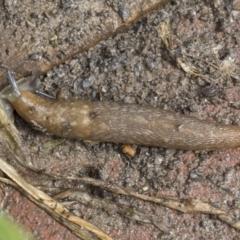 Limacus flavus (Yellow Cellar Slug) at Higgins, ACT - 30 Aug 2021 by AlisonMilton