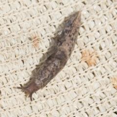 Deroceras reticulatum (Grey Field Slug) at Higgins, ACT - 30 Aug 2021 by AlisonMilton