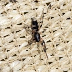 Lampona sp. (genus) (White-tailed spider) at Higgins, ACT - 30 Aug 2021 by AlisonMilton