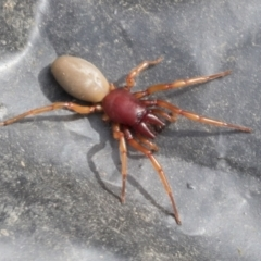 Dysdera crocata (Slater-eating Spider) at Higgins, ACT - 30 Aug 2021 by AlisonMilton