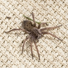 Mituliodon tarantulinus (Prowling Spider) at Higgins, ACT - 30 Aug 2021 by AlisonMilton