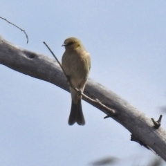 Ptilotula fusca (Fuscous Honeyeater) at Hume, ACT - 30 Aug 2021 by RodDeb