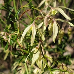 Clematis leptophylla (Small-leaf Clematis, Old Man's Beard) at Holt, ACT - 30 Aug 2021 by drakes