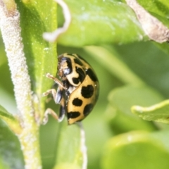 Harmonia conformis (Common Spotted Ladybird) at Higgins, ACT - 31 Aug 2021 by AlisonMilton