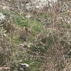 Oryctolagus cuniculus (European Rabbit) at Garran, ACT - 27 Aug 2021 by Tapirlord
