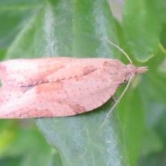 Epiphyas postvittana (Light Brown Apple Moth) at Flynn, ACT - 31 Aug 2021 by Christine