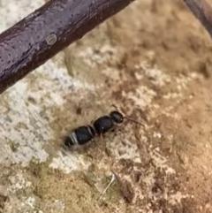 Odontomyrme sp. (genus) (A velvet ant) at Murrumbateman, NSW - 31 Aug 2021 by SimoneC