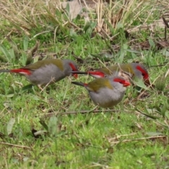 Neochmia temporalis (Red-browed Finch) at Gilmore, ACT - 31 Aug 2021 by RodDeb