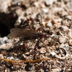 Papyrius sp. (genus) (A Coconut Ant) at Macarthur, ACT - 22 Aug 2021 by RAllen