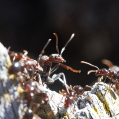 Papyrius sp (undescribed) (Hairy Coconut Ant) at Macarthur, ACT - 22 Aug 2021 by RAllen